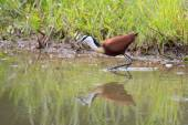 Frican jacana plod along on water plants chasing small insects — Stock Photo