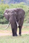Huge elephant bull walking in the hot sun away from water — Stock Photo