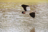 Egyptian goose flying over water with stretched wings to land — Stock Photo