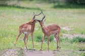 Two male impala fight in for the herd with best territory — Stock Photo
