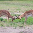 Two male impala fight in for the herd with best territory — Stock Photo #53408477