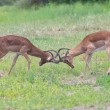Two male impala fight in for the herd with best territory — Stock Photo #53770347