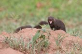 Dwarf mongoose forage for food in short grass showing teeth — Stock Photo