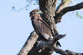Juvenile Bateleur sitting in a dead tree in early morning — Stok fotoğraf