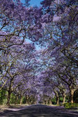 Suburban road with line of jacaranda trees and small branch with — Stock Photo