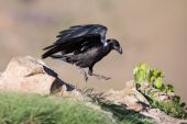 White necked raven gliding is a strong wind on top of maointain — Stok fotoğraf