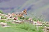 Shy black backed jackal scavenging for food on the side of mount — Stock Photo