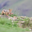 Shy black backed jackal scavenging for food on the side of mount — Stock Photo #62103549
