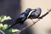 Pair of red winged starlings wit on branch busy with courtship — Stock Photo
