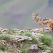 Shy black backed jackal scavenging for food on the side of mount — Stock Photo #65707613