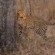 Lone leopard marking his territory on tree to keep others out — Stock Photo #67754271
