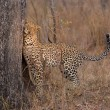 Lone leopard marking his territory on tree to keep others out — Stock Photo #68305481