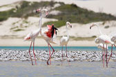 Flock of flamingos wading in shallow lagoon water — Stock Photo