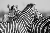 Zebra herd in black and white photo with heads together — Stock Photo