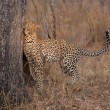 Lone leopard marking his territory on tree to keep others out — Stock Photo #68969043