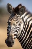 Zebra portrait in colour photo with heads close-up — Stock Photo