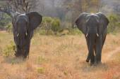 Two elephant bulls walking through bush — Stock Photo