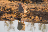 Warthog with big teeth drink from waterhole — Stock Photo