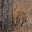 Lone leopard marking his territory on tree to keep others out — Stock Photo #71216467