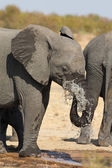 Elephant drinking and splashing water on dry and hot day — Stock Photo