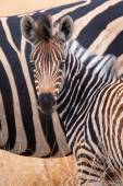 Zebra herd in colour photo with heads together — Stock Photo