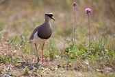 Crowned plover walking on short grass looking for insets — Stock Photo