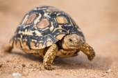 Leopard tortoise walking slowly on sand with protective shell — Stockfoto