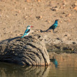Woodland kingfisher sitting on stump in water — Stock Photo #72620671