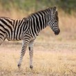 Small zebra foal standing with ox-pecker on his back — Stock Photo #72789303