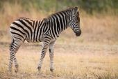 Small zebra foal standing with ox-pecker on his back — Stock Photo