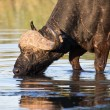 Thirsty Cape buffalo bull drinking water from pond — Stock Photo #73217679