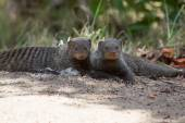 Banded mongoose rest lying flat on sand — Stock Photo