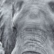 Elephant head and eye close-up  detail artistic conversion — Stock Photo #73424783