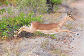 Female impala doe running and jumping away from danger — Stock Photo