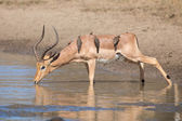 Impala ram drink water from pond with risk of crocodile — Stock Photo