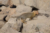 Slender mongoose forage and look for food at  rocks — Stock Photo