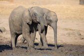 Elephant calf drinking water on dry and hot day — Stock Photo