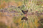Black crake walking along the edge of a pond searching insects — Stock Photo