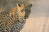 Leopard female close-up looking for danger in soft light — Stock Photo