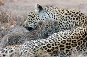 Leopard mother cares for her cub in gathering darkness — Stock Photo