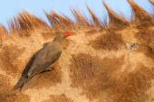Red billed ox-pecker sitting on a giraffe neck hinting for insec — Stock Photo