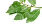 Green leaves of the laurel tree — Stockfoto