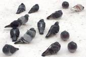 Wild pigeons in the snow — 图库照片
