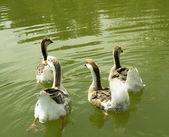 Wild geese on the water — Zdjęcie stockowe