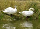 White swans on the river — Stock Photo