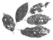 Leaves with holes, eaten by pests — Stock Photo