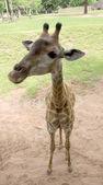 Girafa no zoológico de close-up — Fotografia Stock