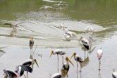 Stork bird in water pool — Stok fotoğraf