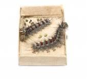 Gypsy moth caterpillars — Stock Photo