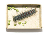 Gypsy moth caterpillar — Stock Photo